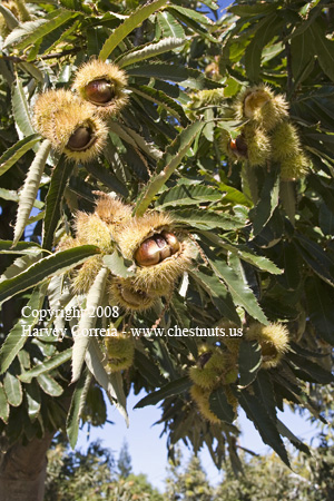 Italian Marroni chestnuts almost ready for harvest
